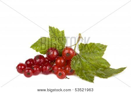 Red Currant With Drops Of Water Isolated On White Background