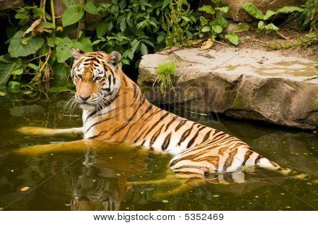 Banho tigre