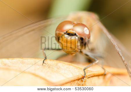Dragonfly Head Portrait