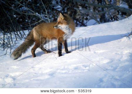 Red Fox 20