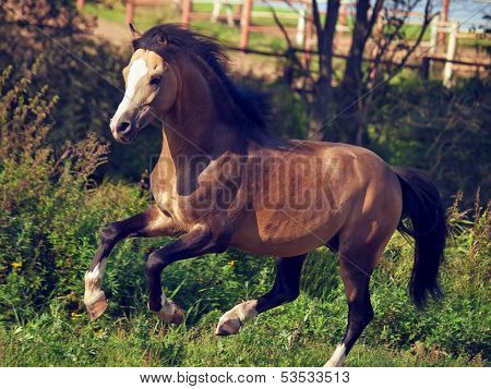 Buckskin Welsh Pony In Motion.