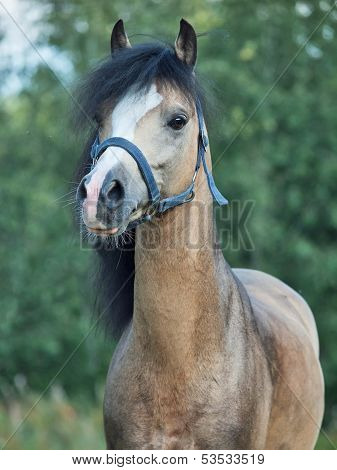 Portrait Of Beautiful Buckskin Welsh Pony