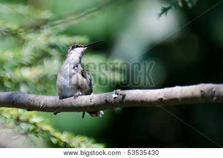 Tubby Ruby-throated Hummingbird Perched In A Tree