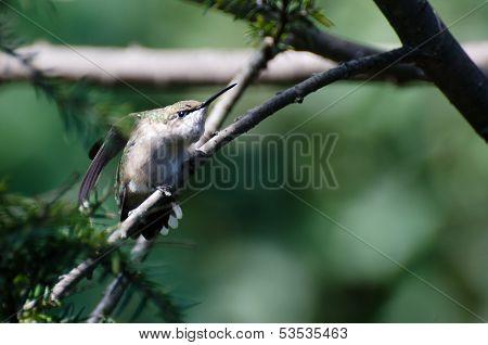 Aggressive Looking Hummingbird