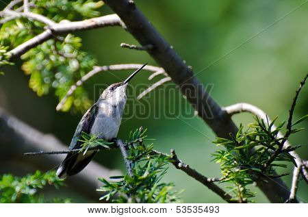 Ruby-throated Hummingbird Perched In A Tree Looking For Trouble