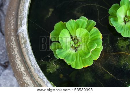 Floating Plant Water