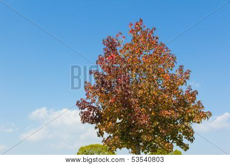 Maple Tree That Impending Autumn Leaves