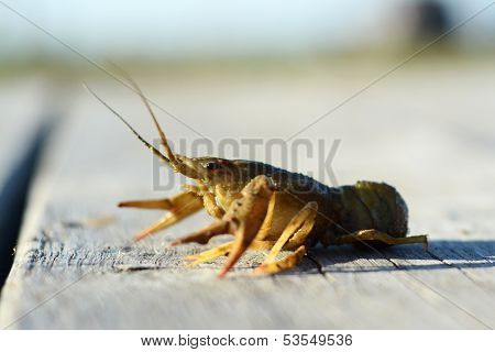 Crayfish On The Pier