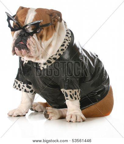 diva dog - english bulldog dressed up like man and woman isolated on white background