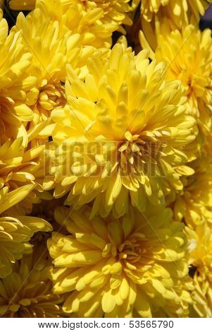 yellow flowers of chrysanthemum plant