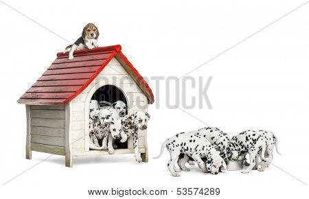 Large group of Dalmatian puppies playing and eating around a kennel, isolated on white