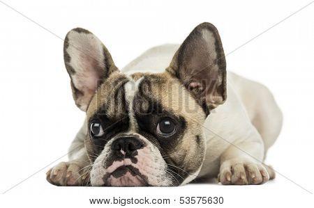 French Bulldog facing, lying, isolated on white