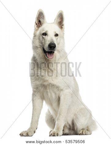 White Swiss Shepherd Dog sitting, panting, isolated on white