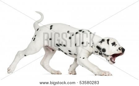 Side view of a Dalmatian puppy walking and barking, isolated on white