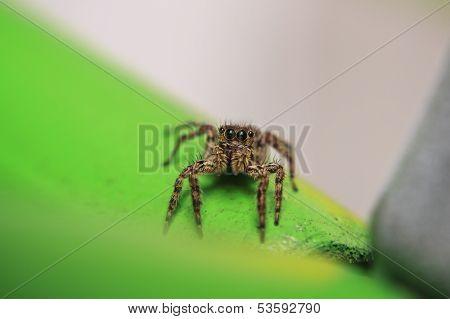 Platycryptus Undatus Jumping Spider.