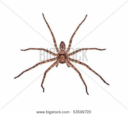 huntsman spiders isolation