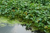 stock photo of water cabbage  - Water convolvulus is a scientific name  - JPG