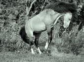 image of buckskin  - buckskin welsh pony in motion. sunny day