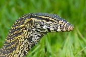 foto of monitor lizard  - A head - JPG