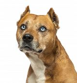 stock photo of american staffordshire terrier  - Close - JPG