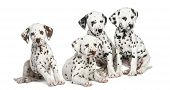 picture of herding dog  - Group of Dalmatian puppies sitting - JPG
