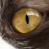 Close-up of a British Longhair's eye
