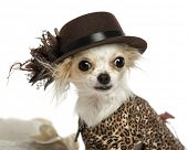 stock photo of chihuahua  - Close - JPG