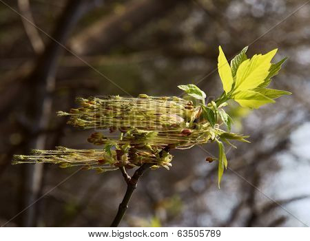 box maple tree with flowers at spring