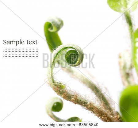 Unfolding fern leaves against white background