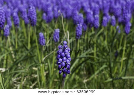 Grape Hyacinth spear