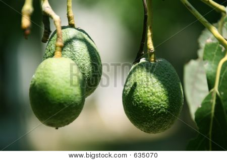 Green Haas Avocados On The Tree