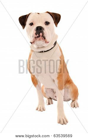 Old English Bulldog Sitting On White