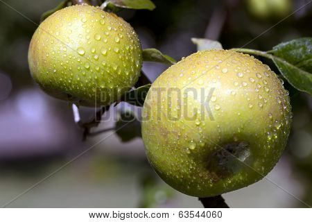 Green Apples On Tree