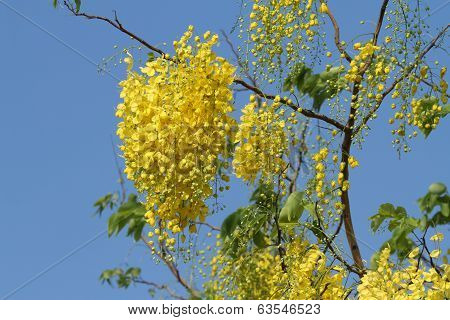 Cassis Fistula Flower Or Golden Shower