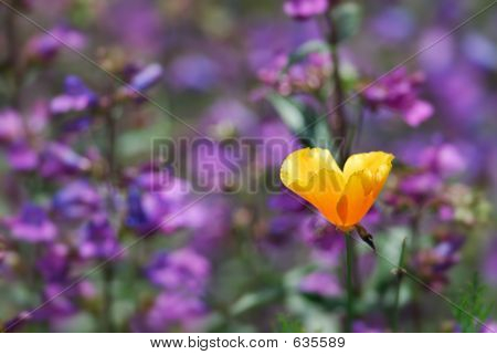 California Poppy And Larkspur
