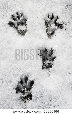 marmot paw tracks