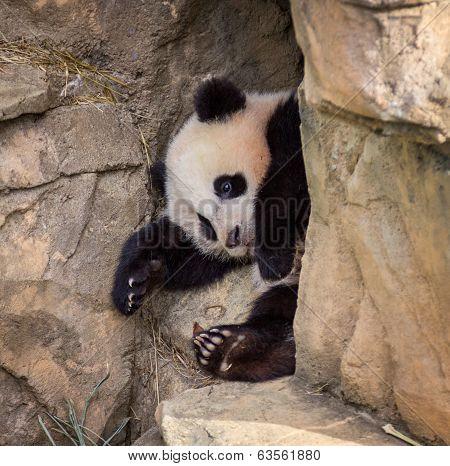Baby Panda Cub Takes a Nap