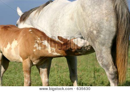 Nursing Paint Foal