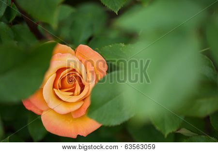 Beautiful flame red orange rose hidden between green leaves