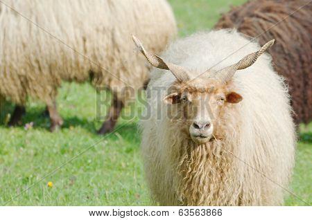 Hungarian Racka Sheep Gazing