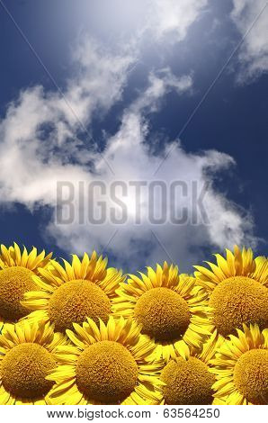 Sunflower Field Against The Blue Sky