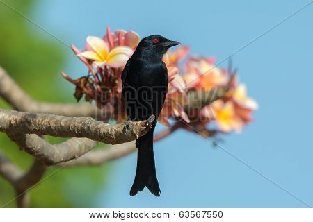 Fork-tailed Drongo Looking Up While Perched On A Flowering Frangipani Tree