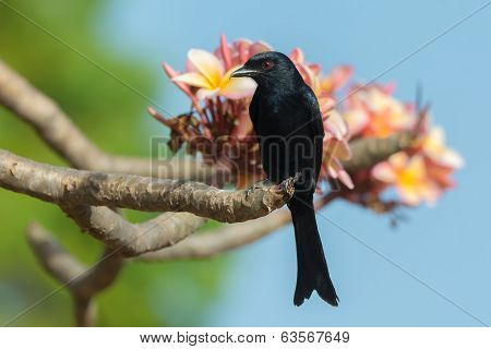 Fork-tailed Drongo Perched On A Flowering Frangipani Tree