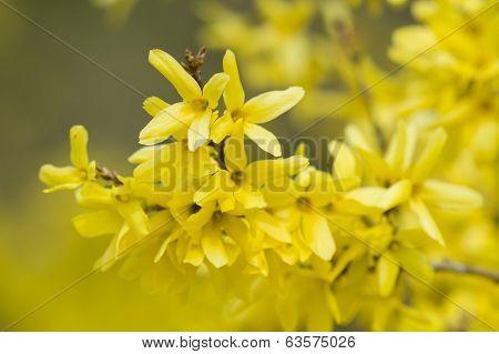 Forsythia Yellow Flowers
