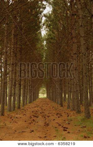 Pine Corridor