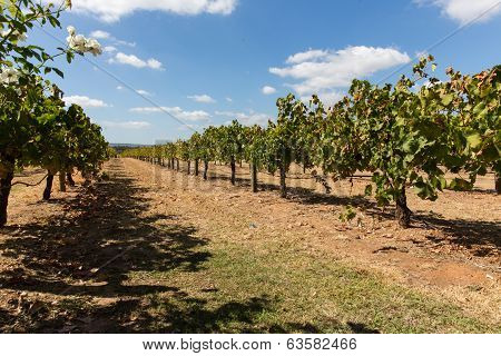 Vineyard in Australia