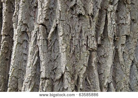 Bark of a linden tree