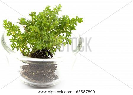 Small Tree In Glass Cup