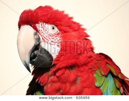 Scarlet Macaw Fluffed Head Shot