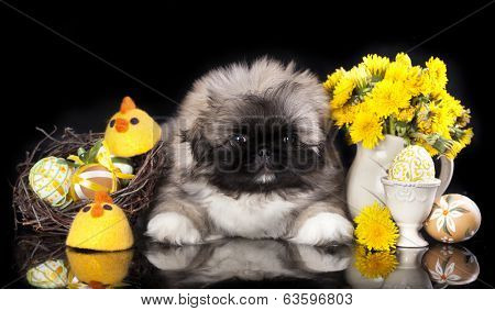 Pekingese puppy with easter eggs